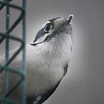 Downey on a suet feeder looking pensive.  Food flecks on her bill.