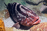Nassau Grouper full body view with Neon Goby cleaning near its' mouth