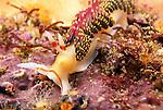 Santa Cruz Island, Channel Islands, Callifornia; Hilton's Aeolid (Phidiana hiltoni) nudibranch moves over the rocky reef , Copyright © Matthew Meier, matthewmeierphoto.com All Rights Reserved