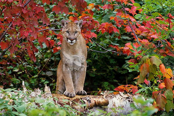 Mountain lion, cougar, or puma (Puma concolor) among fall colored maples, Upper Midwest.