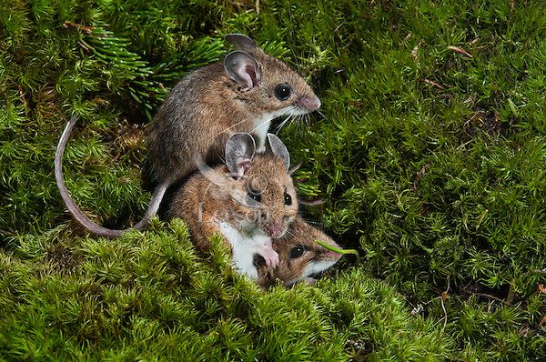 Deer Mice (Peromyscus maniculatus) may den in groups for warmth during cold snaps and winter. Native rodent of North America.