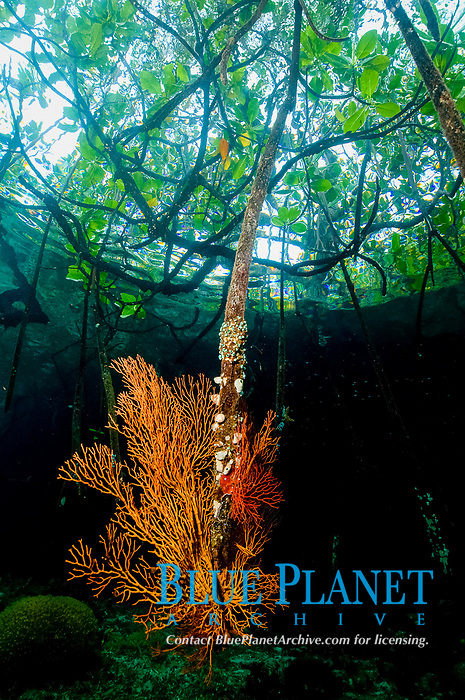 red mangrove, Rhizophora mangle, mangrove forest, blue water mangrove, where the rainforest meets the reef the corals grow on the mangrove roots and the reef starts almost immediately below them, Misool, Southern Raja Ampat, West Papua ( formerly Irian Jaya ) Indonesia, Pacific Ocean