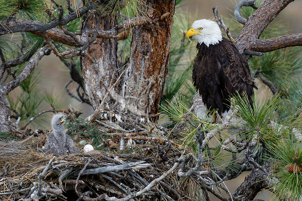 Bald Eagle Nest (Haliaeetus leucocephalus)--adult with several week old eaglet in tall ponderosa pine tree.  Oregon.  April.  Note: the remaining egg in nest was infertile.