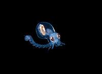 arval Atlantic Longarm Octopus, Macrotritopus defilippi.  Photographed during a Blackwater drift dive in open ocean at 30 feet with the bottom at 600 plus feet below.  Palm Beach, Florida, U.S.A.  Atlantic Ocean