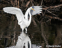 0111-0932  Great Egret, Ardea alba  © David Kuhn/Dwight Kuhn Photography