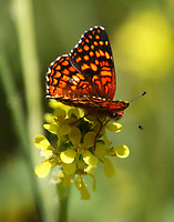 Gabb's Checkerspot