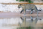 Male jaguar (Panthera onca) walking on a sand bank with reflection in the water. Cuiaba River, Northern Pantanal, Mato Grosso, Brazil.
