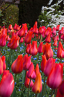 Red tulips flowering at Filoli