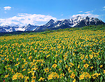 Sunflowers and the Sneffels Range in San Juan Mountains; Colorado; USA; John guides custom photo tours in the Sneffels Range and throughout Colorado.