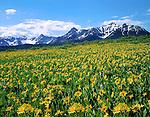 Sunflowers and the Sneffels Range in San Juan Mountains; Colorado; USA; John guides custom photo tours in the Sneffels Range and throughout Colorado.