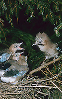 Eichelhäher, Altvogel füttert Küken, Jungvogel im Nest, Eichel-Häher, Häher, Garrulus glandarius, jay