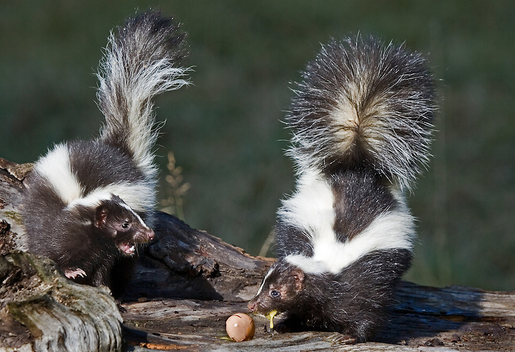 Pair of Stripped Skunks (Mephitis mephitis) fighting over an egg. -Captive Animals