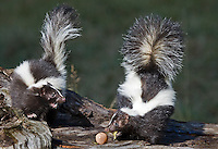Pair of Stripped Skunks (Mephitis mephitis) fighting over an egg. -Captive Animals