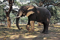 African Elephant feeding on Acacia Tree Pods--has picked one up with its trunk.   Zimbabwe.  (Loxodonta Africana)  Africa.