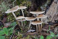 Rosablättriger Helmling, Mycena galericulata, common bonnet, toque mycena, rosy-gill fairy helmet