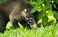 White-nosed Coati (Coatimundi), Nasua narica, in Arenal Volcano National Park, Costa Rica
