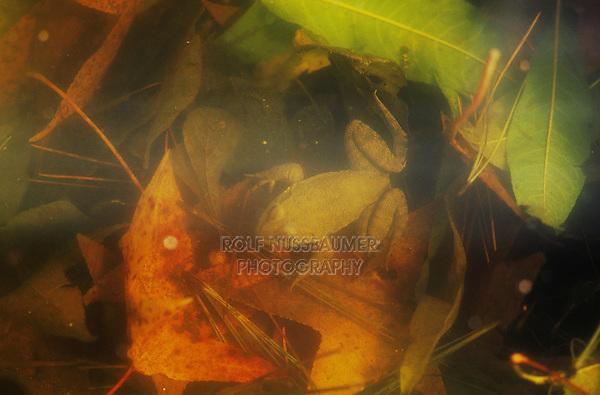 Pickerel Frog (Rana palustris), adult hibernating in pond, Raleigh, Wake County, North Carolina, USA