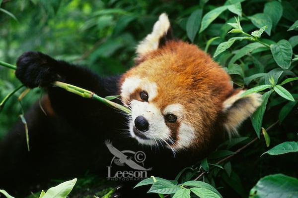 Red panda or lesser panda (Ailurus fulgens) eating bamboo shoot, Wolong Nature Reserve, China.