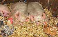 Middle White sows in straw with hens.