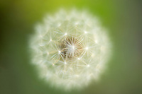 close up of dandelion seed head. Oregon