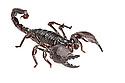Imperial / Emperor / Giant African scorpion {Pandinus imperator}. Captive. Originating form Africa. website