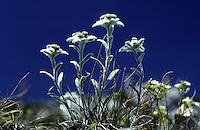 Alpen-Edelweiß, Edelweiß, Edelweiss, Alpen-Edelweiss, Leontopodium nivale, Leontopodium alpinum, Edelweiss