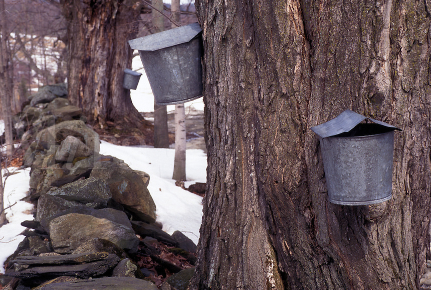 maple sugaring, Vermont, VT, Buckets on maple trees, sugaringtime, snow, early spring.