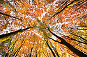 Looking up through a Beech wood canopy {Fagus sylvatica} in autumn, Peak District National Park, Derbyshire, UK. Seasons sequence 1 of 2.