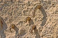 Gemeine Schornsteinwespe, Schornstein-Wespe, Schornsteinförmige Nester aus Lehm, Odynerus spinipes, Oplomerus spinipes, Spiny Mason Wasp, Lehmwespe, Lehmwespen, Eumenidae