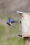 A male western bluebird returns to the nest box to feed the young.