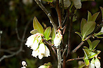 Early Low Sweet Blueberry, Vaccinum angustifolium, blooms, flowers, blossoms