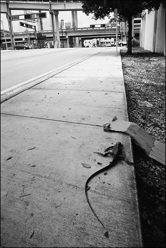 "Iguana<br /> From ""Miami in Black and White"" series. Miami, FL, 2009"