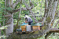 "Near the village of Senyuva where he is the mayor, Atilla Guneri, 63 years old and retired teacher, inspects his modern hives set up on a platform in a beech tree. High up in the tree, a trunk hive, a ""Kara kovan"", reminds him of his youth. Today, Attila has a hard time climbing to the top of the trees. He still owns 5 trunk hives to maintain the tradition and fifty or so modern hives. ///Près du village de Senyuva, dont il est le maire, Atilla Guneri, 63 ans, instituteur à la retraite inspecte sur une plateforme installé dans un hêtre ses ruches modernes. Tout en haut de l'arbre, a trunk hive, Kara kovan, lui rappelle sa jeunesse. Attila peine aujourd'hui pour monter à la cime des arbres, il possède encore 5 ruches troncs pour maintenir la tradition et une cinquantaine de ruches modernes."