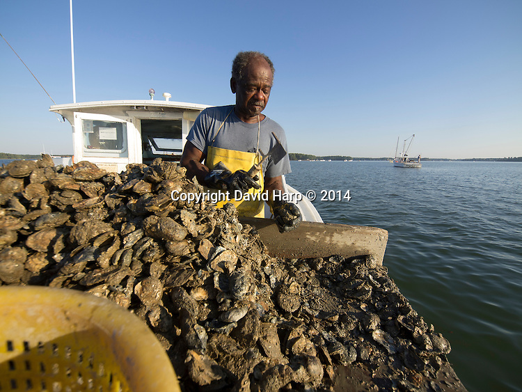 Lewis Carter uses hydraulic assistance to bring the leavy tong full of oysters onto the deck of Miss Yolanda.   On his culling board he sorts out the legal sized oysters and returns the undersized ones and shell to the creek.