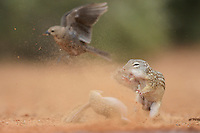 Mexican Ground Squirrel (Spermophilus mexicanus), adults fighting dust flying and Brown-headed Cowbird (Molothrus ater) , South Texas, USA
