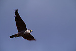 Peregrine Falcon in flight.