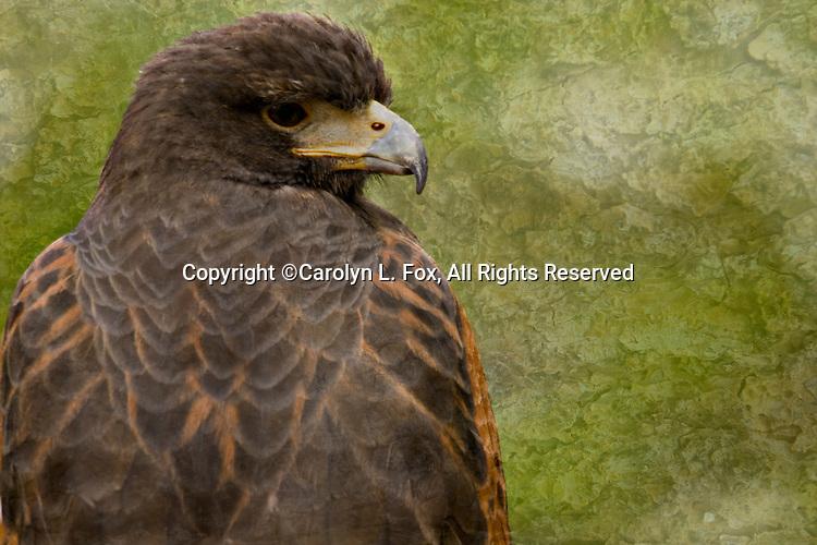 A Harris Hawk sits against a muddled green background.
