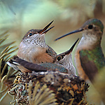 A female feeds her hummingbird chicks (Selasphorus platycercus) in a pine tree nest in the Rocky Mountains of Colorado