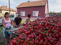 Russinische Minderheit, Paprika-Ernte, Ruski Krstur, Vojvodina, Serbien, Europa<br /> Ruthenian minority, harvest of peppers, Ruski Krstur, Vojvodina, Serbia, Europe
