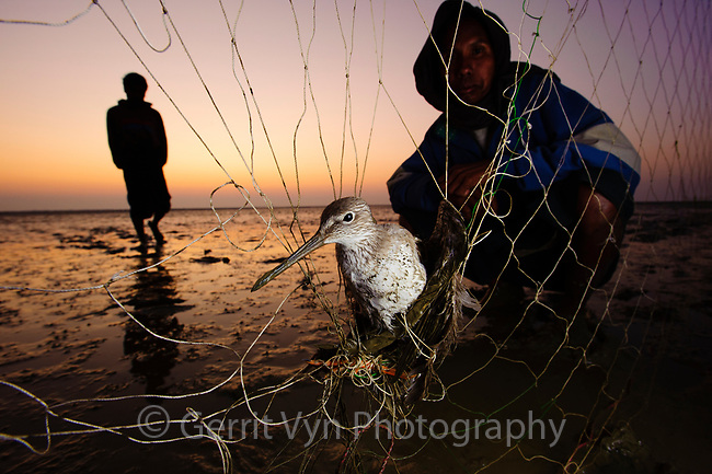 Common Redshank caught in a subsistence bird hunters net.   Professional hunters trapped 400+ shorebirds in one night in October 2011 on Nan Thar Island. The hunters arrive by large rowing boats late at night on new moons. Fishing was bad so they strung 100+ foot nets across the flats to catch birds moving from feeding areas to roosts. As the area is not patrolled there is no way to know how often this is happening and how many Spoon-billed Sandpipers are being killed. Rakhine State, Myanmar. January.