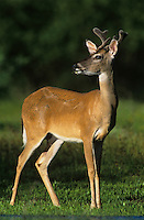 White-tailed Deer, Odocoileus virginianus, buck, Willacy County, Rio Grande Valley, Texas, USA