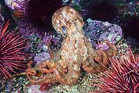 Giant Pacific Octopus, Enteroctopus dofleini, Race Rocks, Vancouver Island, Canada, Pacific Ocean