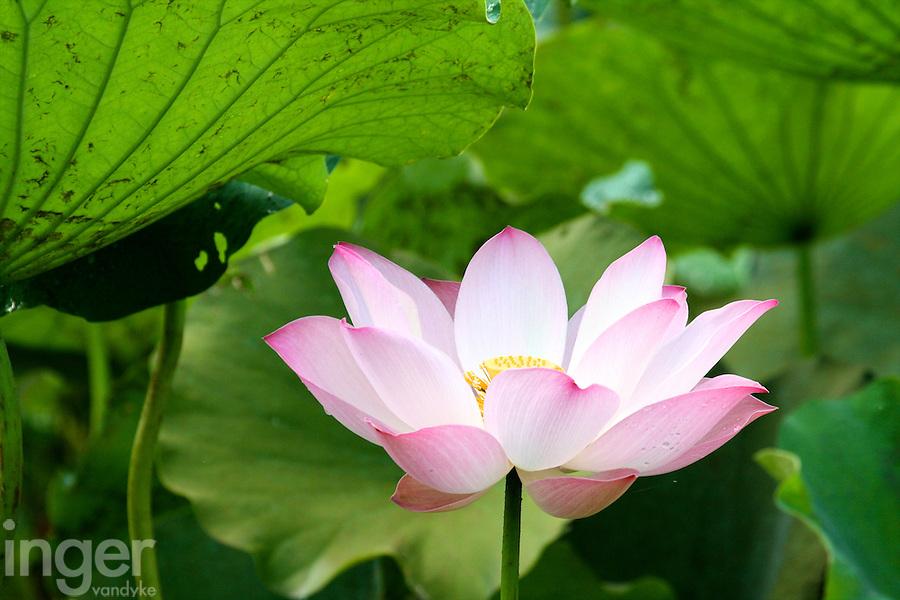 Pink Lotus flower growing outside Siem Reap, Cambodia