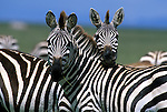 A pair of Burchell's zebra stand together on a plain in Kenya.