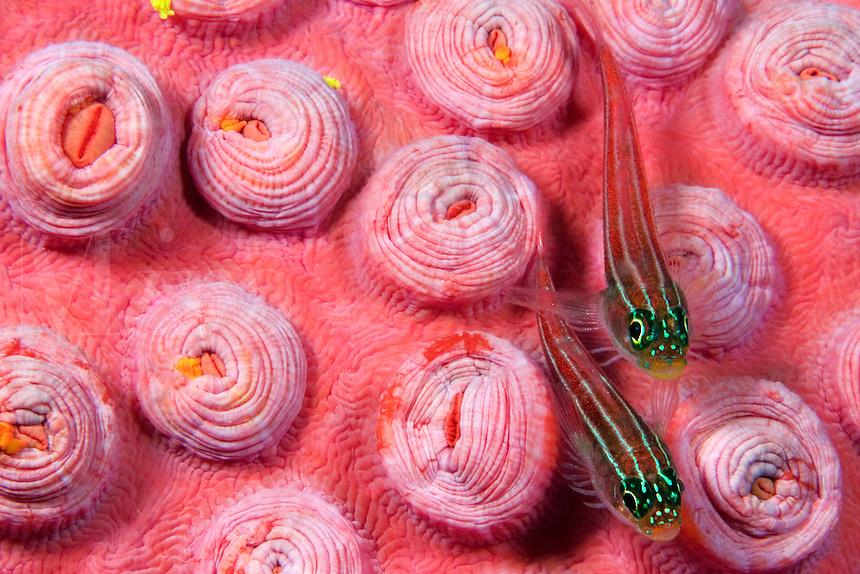 Striped triplefin, Helcogramma striatum, on tubastraea coral.  Indonesia.<br />