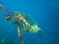 A snorkler's view of a green sea turtle (or honu) swimming around One Palm, Big Island.
