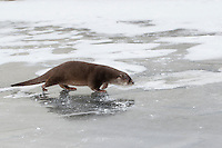 Europäischer Fischotter, Fisch-Otter, Otter, Weibchen im Winter bei Schnee und Eis, Lutra lutra, river otter, European otter, female