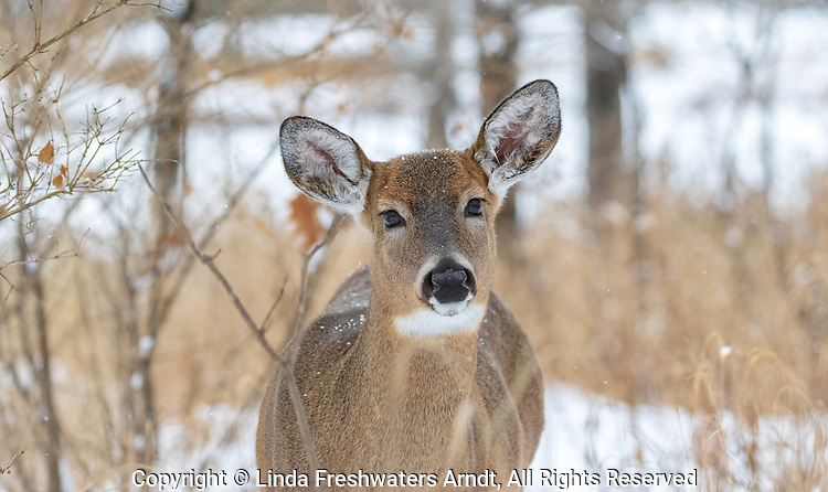 White-tailed doe looking inquisitive in northern Wisconsin.