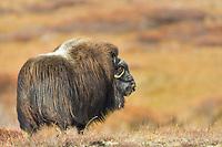 Muskox on the tundra, Seward Peninsula, arctic Alaska.