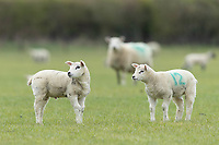 10-4-2021 Spring lambs <br /> ©Tim Scrivener Photographer 07850 303986<br />      ....Covering Agriculture In The UK....